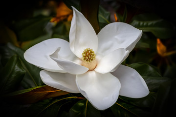 Wall Murals Magnolia White magnolia flower closeup against a dark green and orange blurred background