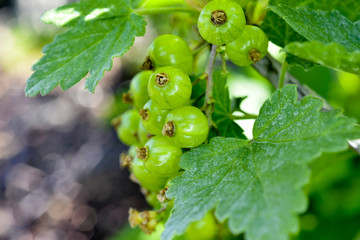 Gooseberries ripening on the bush with leaves. Fototapete