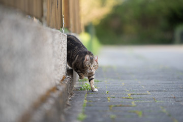 tabby domestic shorthair cat leaving home coming around the corner walking on the sidewalk