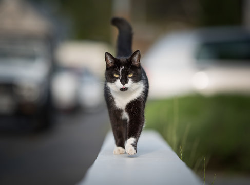 black and white domestic shorthair cat walking on a low mural next to sidewalk looking at camera