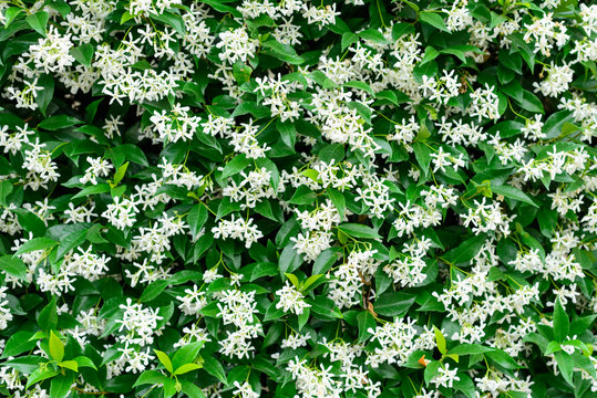 Wall of Chinese star jasmine flowers (Trachelospermum jasminoides) in bloom.
