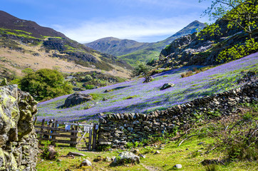 Türaufkleber Aubergine lila A view of the Rannerdale valley with the spring display of blue bells climbing the hillside and famed for growing out in the open rather that in woodland shade. Showing the stone wall and the gate