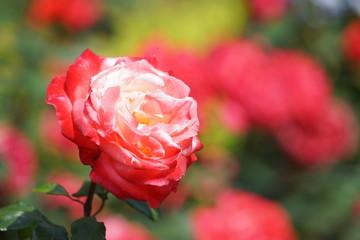 5月の横浜のバラの花