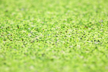 Wall Mural - close up of duckweed texture as background