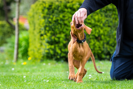 2 months old cute hungarian vizsla dog puppy biting owners fingers while playing outdoors in the garden. Obedience training.