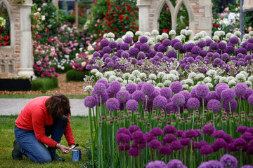 A worker prepares a display of Alium during the final day of preparations at the RHS Chelsea Flower Show in London