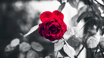 Classic Perfect Garden Red Rose And Thorns in Rain Highlighted With Black and White Conceptual