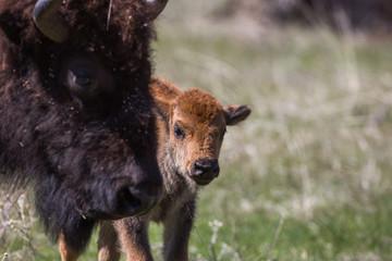 Bison calf, Custer State Park, South Dakota
