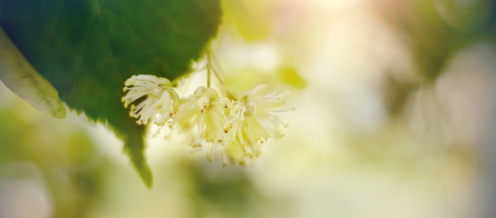 Blurred background with Linden flowers