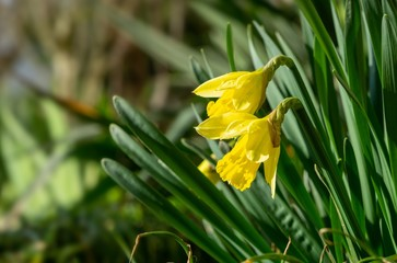 Poster Narcissus Daffodil flower in grass. Slovakia