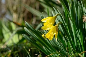 Foto auf AluDibond Narzisse Daffodil flower in grass. Slovakia