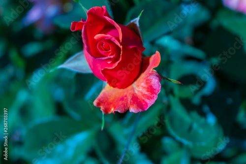 Blooming Attractive Single Red Rose Petal Stock Photo And