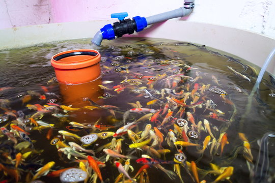 Various fish species in aquaponics system, combination of fish aquaculture with hydroponics, cultivating plants in water under artificial lighting