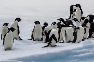 Adeli Pinguin