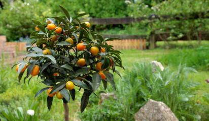 Kumquats vom Hochstamm ernten