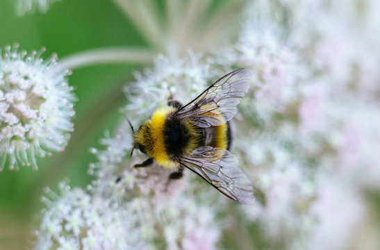 A furry striped bumblebee sits on a poisonous white flower of a water Hemlock on a green background. Textured wings. Close up, top view, macro. Poisonous plant.