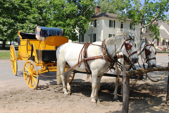 Two white horses with a yellow carriage standing in the street of Colonial Williamsburg, Virginia, USA