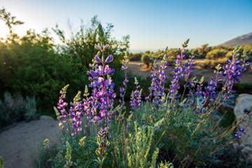 purple desert wildflowers blooming in spring landscape Sierra Nevada mountains California