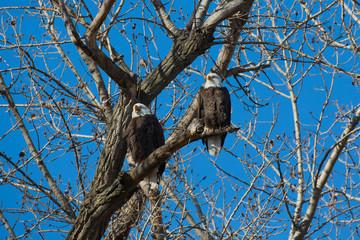 Bald Eagles, Loess Bluffs National Wildlife Refuge, Missouri