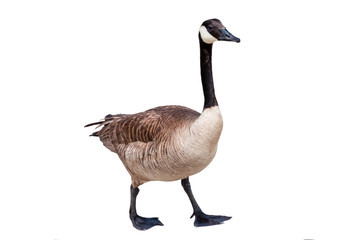 Canada goose cutout on a white background