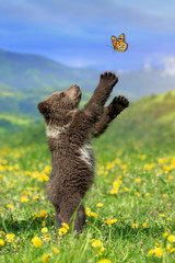 Wall Mural - Brown bear cub playing on the summer mountain with butterfly