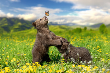 Brown bear cub playing on the summer mountain with butterfly Wall mural