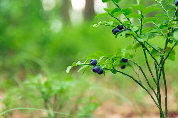 Wall Mural - Shrubs with blueberry fruits in the forest