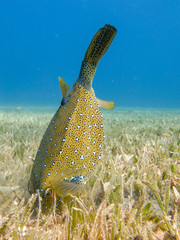 Yellow Boxfish searching for food on the seagrass in Dahab, Egypt