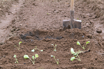 bed fertilized with ashes for planting cabbage seedlings. Cultivation of vegetables