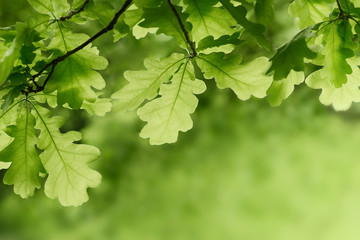 Green oak leaves background. Plant and botany nature texture