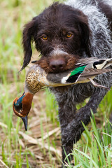 german wirehaired pointer returns downed duck