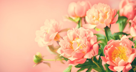 Fresh coral peony flowers for holiday