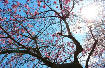 桜 空 太陽 茨城 公園