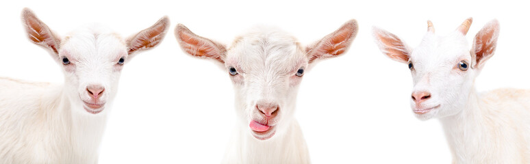Portrait of a three funny goat isolated on white background