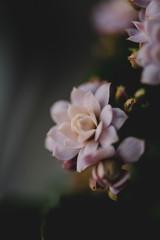 Fotobehang macro photography garden pink flowers background
