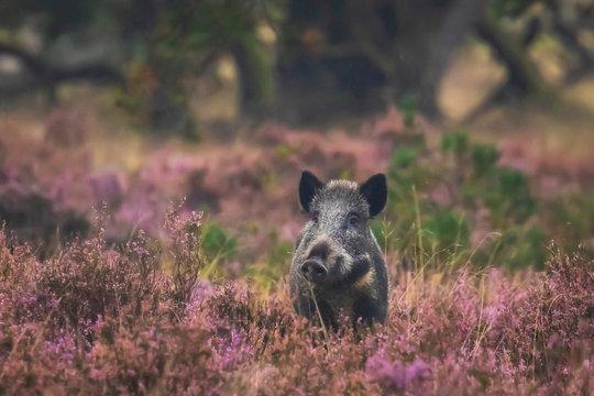 Wild boar in blooming heather
