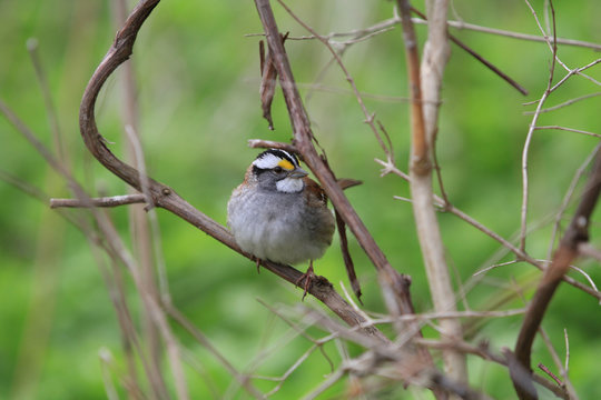 white-throated sparrow perched on branch