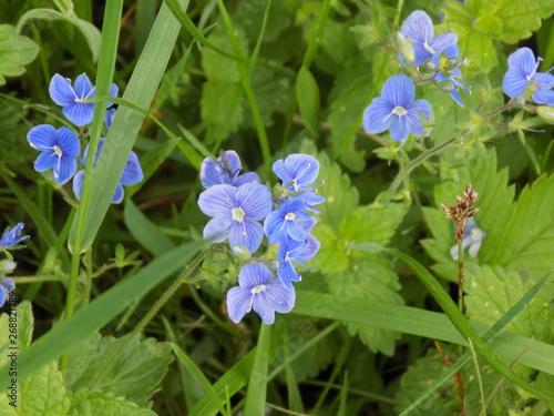 Fiori Azzurri.Fiori Azzurri Stock Photo And Royalty Free Images On Fotolia Com