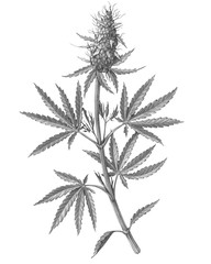 Cannabis Female Plant Pencil Illustration Isolated on White