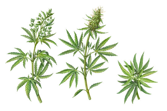 Set of Male and Female Cannabis Plant Pencil Illustrations Isolated on White