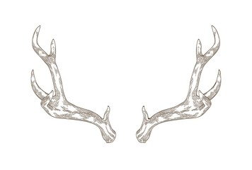 Monochrome drawing of deer, stag or hart antlers isolated on white background. Part of forest animal's body. Elegant hand drawn realistic vector illustration in vintage engraving style for logotype. Wall mural