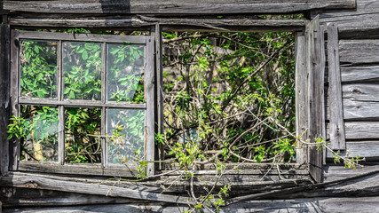 Tree growing through a collapsed window of a building  in Belarus Chernobyl exclusion zone,