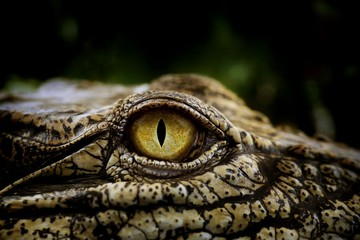 Fotobehang Krokodil Close up of the yellow eye crocodile. Amazing animal planet ideas concept and free space for text.