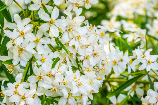 mexican orange blossom flowers in macro closeup, White aromatic flowering plant from Mexico, Popular tropical cultivated shrub, nature background