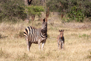 Wall Murals zebras in the savannah national parks and nature reserves of south africa