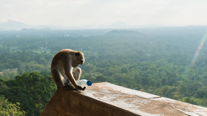 Wild monkey playing with plastic bottle thrown away by tourist in Sigiriya, Sri Lanka