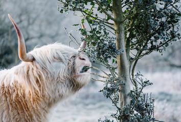 White haired Highland Cow feeding on Holly leaves. Norfolk, UK.