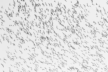 Black and white image of flight of  wigeon ducks