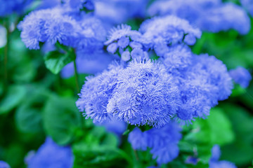 Close up of ageratum flowers in the home garden.