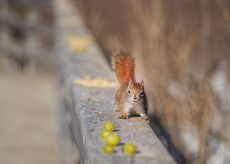Red squirrel on a railing looking for lunch.